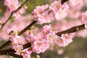 Rosa fiori di ciliegio