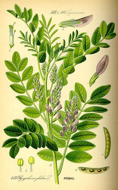 Liquirizia pianta