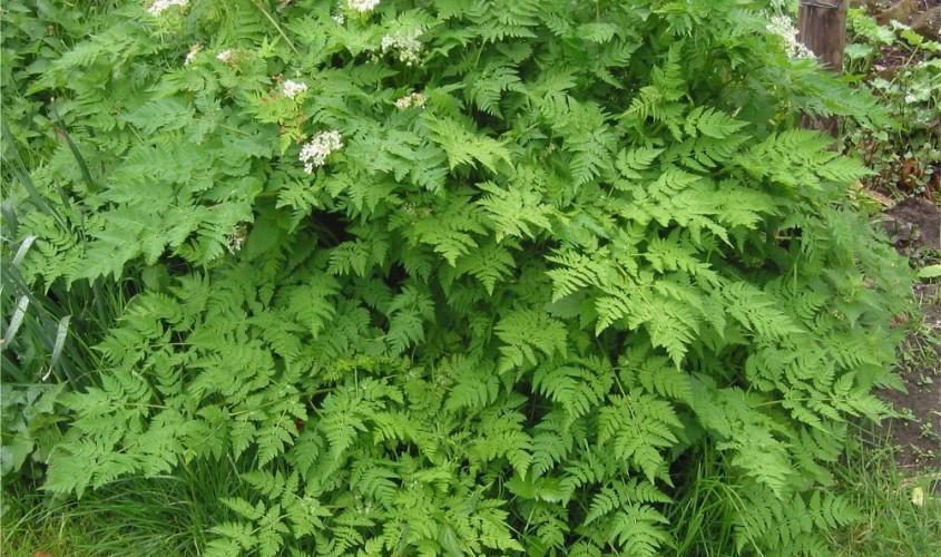 Myrrhis_odorata,_Roomse_kervel_plant