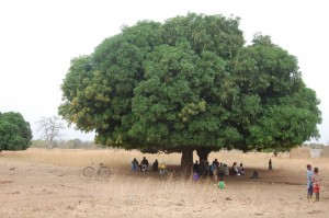 Mango trees at Dongo