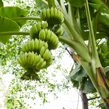 Banane P