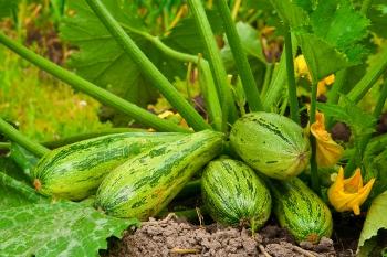 Zucchine P