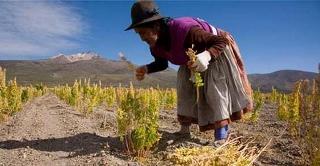 Quinoa raccolta (320x166)