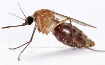 zanzara anofele (350x217)