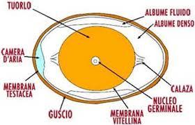 La struttura dell'uovo.